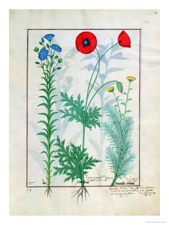 """Linum, Garden Poppies and Abrotanum, Illustration from """"The Book of Simple Medicines"""""""