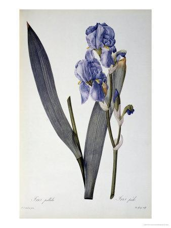 Iris Pallida, from Les Liliacees, 1812