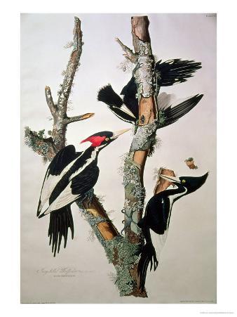 "Ivory-Billed Woodpecker, from ""Birds of America,"" 1829"