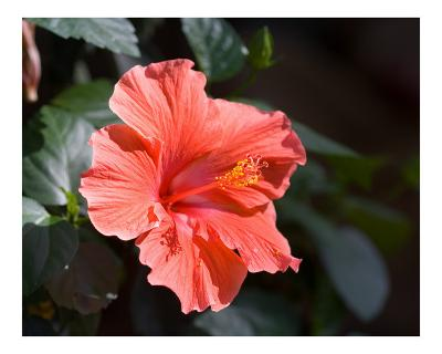 Red Hibiscus Flower Bloom