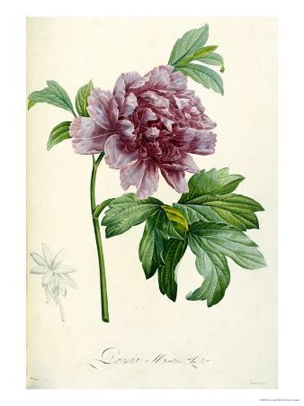 Hand Colored Engraving of a Peony, 1812-1814
