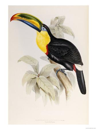 A Monograph of the Ramphastidae or Family of Toucans, 1834