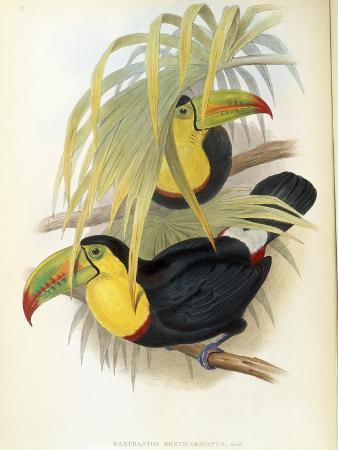 Short-Billed Toucan