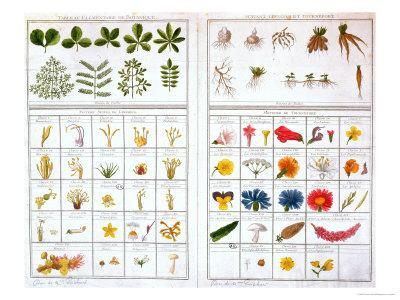 Botanical Table after Carl Von Linne and after Joseph Pitton De Tournefort, Late 18th Century