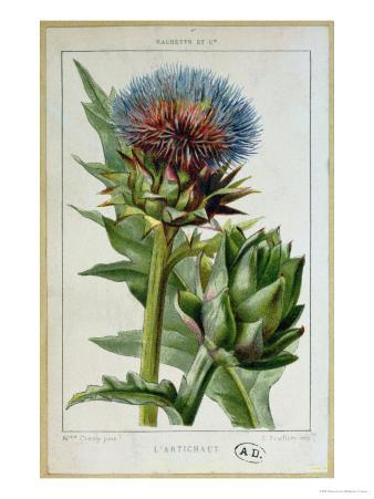 Artichoke, Botanical Plate