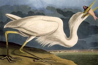 """Great White Heron from """"Birds of America"""""""
