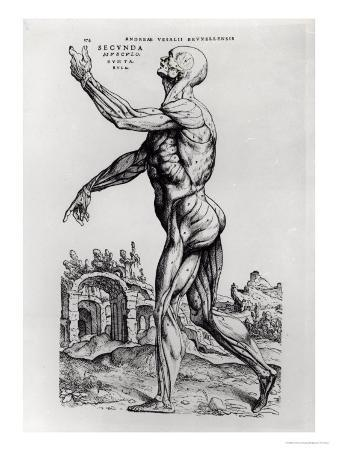 Musculature Structure of a Man