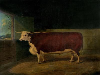 Portrait of a Prize Hereford Steer, 1874