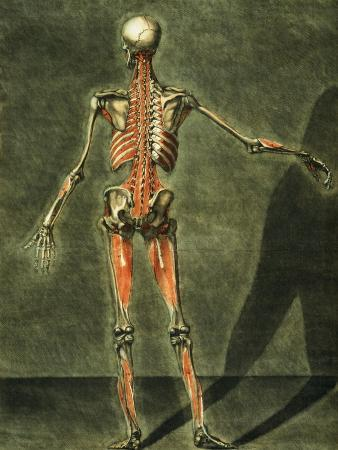 Deep Muscular System of the Back of the Body