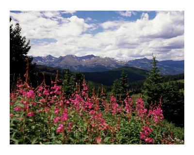 Fireweed Flowers and Colorado Mountains