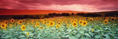 Sunflowers, Corbada, Spain