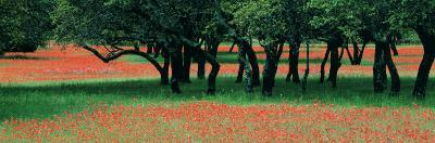 Indian Paintbrushes and Scattered Oaks, Texas Hill Co, Texas, USA