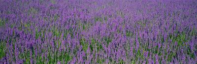 Field of Lavender, Hokkaido, Japan