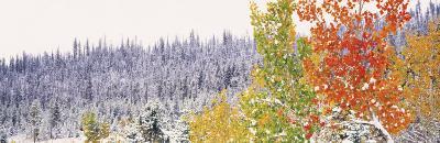 Winter, Aspens, USA