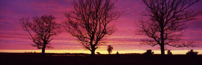 Oak Trees, Sunset, Sweden