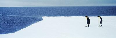 Adelie Penguins, Ross Sea, Antarctica