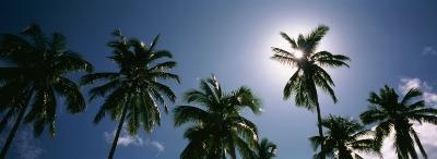 Low Angle View of Coconut Palm Trees, Fiji