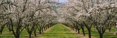 Almond Trees in an Orchard, California, USA Photographic Print at AllPosters.com400 x 130 jpeg 18kB