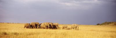 Elephant Herd, Maasai Mara Kenya