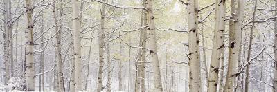 Autumn Aspens with Snow, Colorado, USA