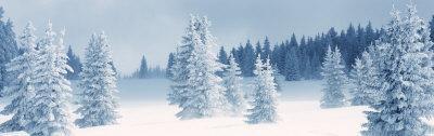 Fresh Snow on Pine Trees, Taos County, New Mexico, USA