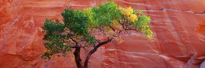 A Cottonwood Tree in Front of a Sandstone Wall, Escalante National Monument, Utah, USA