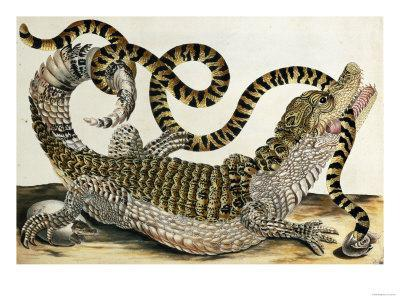 Alligator and Snake by Maria Sybille Merian, 1730