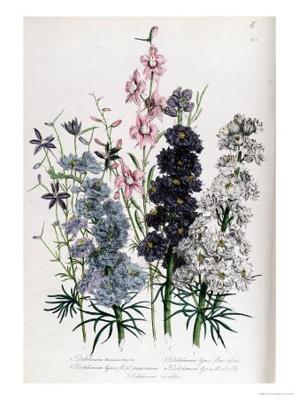 "Delphiniums, Plate 3 from ""The Ladies"" Flower Garden"", Published 1842"