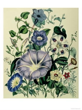 """Bindweed, Plate 26 from """"The Ladies"""" Flower Garden"""", Published 1842"""