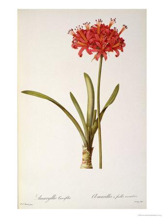 """Amaryllis Curvifolia from """"Les Liliacees"""", 1809"""