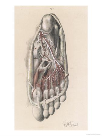 First and Second Stages of the Dissection of the Sole of the Foot