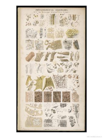 Microscopic Structure of the Texture of Various Parts of the Body