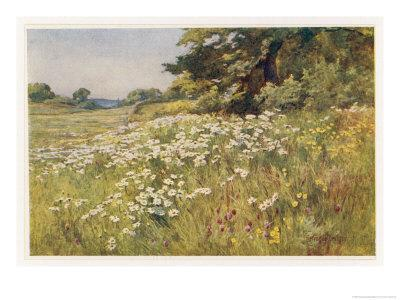 Clump of Wild Daisies in a Spring Meadow