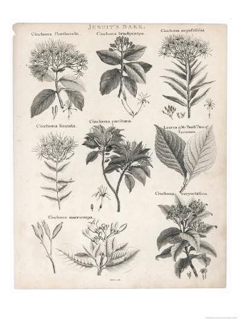 Varieties of the Cinchona Species