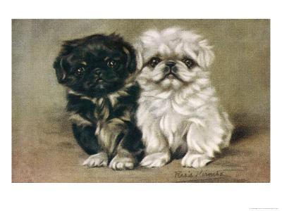 Black and a White Pekingese Puppy Sit Close Together