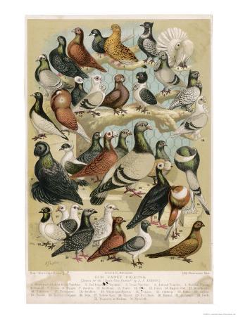 Fancy Pigeon Breeds