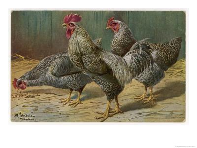 Black-Speckled Cock and Hens, Probably Silver-Laced Wyandottes
