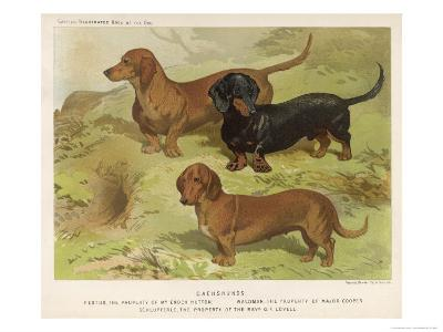 Three Varieties of Dachshund, Smooth Red and Black-And-Tan