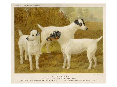 Fox Terriers Rough and Smooth