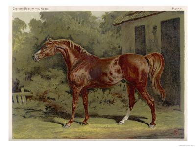 "Great-Grandson of ""Darley Arabian"" Raced 1769-1770 in 18 Races All of Which He Won"