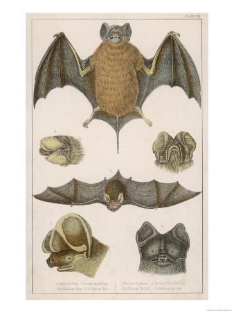 Various Species of Bat