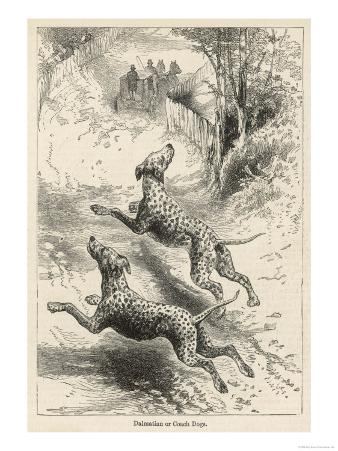 Two Dalmatians Also Known as Coach Dogs Follow and Protect a Carriage