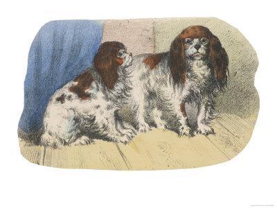 King Charles Spaniel, Blenheim