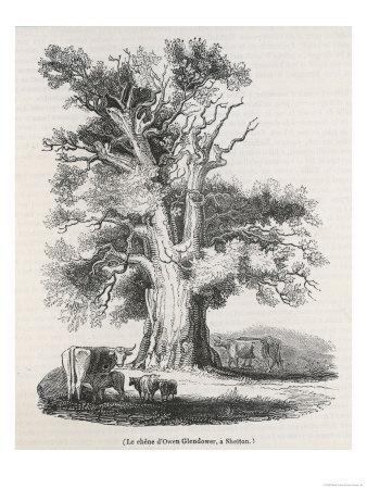 The Oak Near Shelton