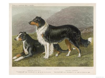 Two Collies, Rough and Smooth-Coated Tricolour