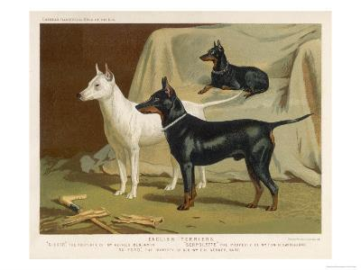 Toy Terrier, White Terrier, Black and Tan Terrier