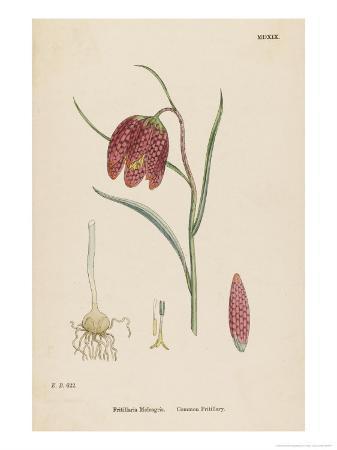 Common Fritillary