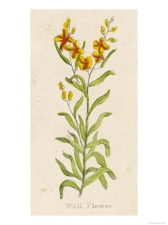 Also Known as Cheiranthus Ch. Wall Flower