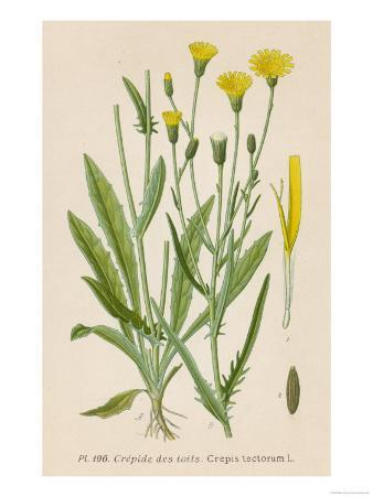 Species of Hawk'S-Beard Known in France as Roof Crepis