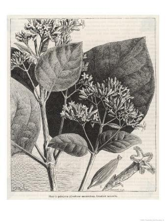 Flower and Leaves of the Quinine Plant